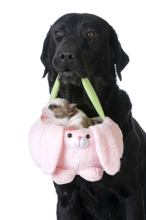 labrador teeth: dog holding a basket with a puppy inside on white background