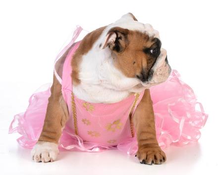 like english: spoiled dog - english bulldog dressed up like a ballerina on white background