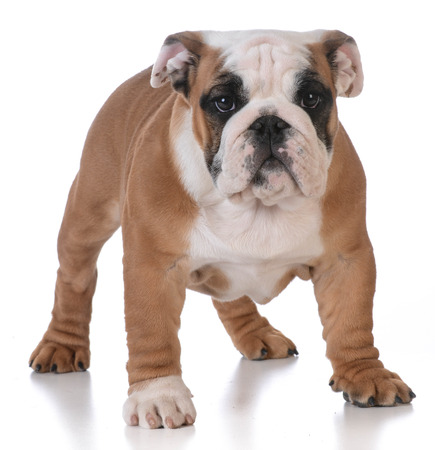 looking at viewer: bulldog puppy standing looking at viewer on white background