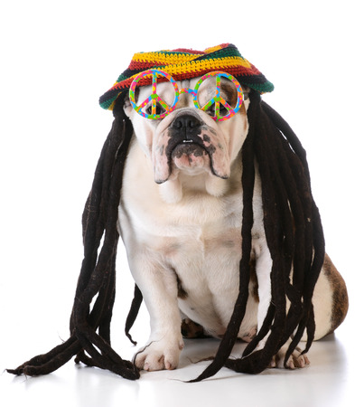 rasta hat: funny dog with dreadlock wig and peace glasses on white background