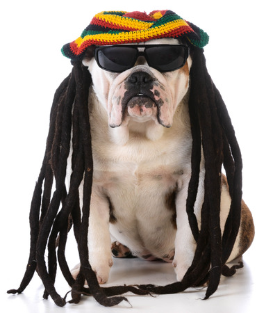rasta: funny dog with dreadlock wig on white background Stock Photo