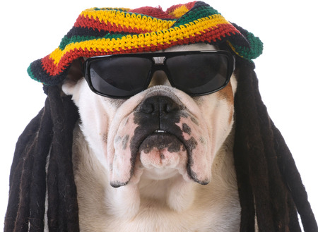 jamaican ethnicity: funny dog with dreadlock wig on white background Stock Photo