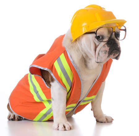 costumes: working dog - bulldog dressed up like construction worker on white background
