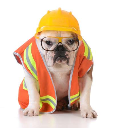 obrero trabajando: perro de trabajo - bulldog vestido como trabajador de la construcción en el fondo blanco