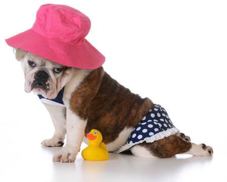 dog days: días de verano - cachorro de bulldog llevaba un bikini en el fondo blanco