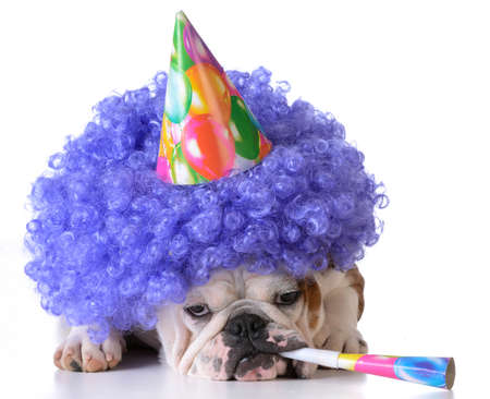 animal sad face: birthday dog - bulldog wearing clown wig and birthday hat on white background
