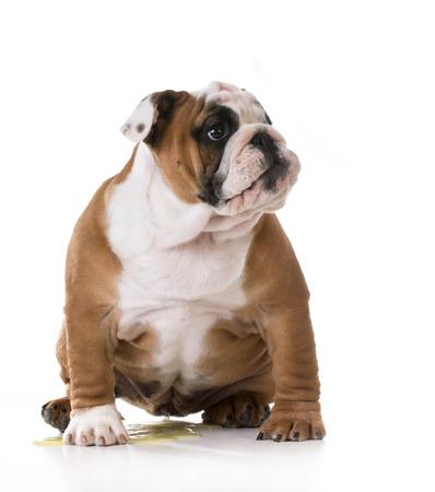 pis: orinar cachorro - housetraining un cachorro de bulldog - 3 meses de edad Foto de archivo