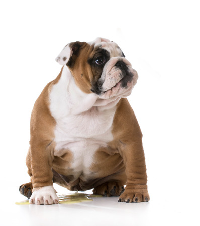pee: peeing puppy - housetraining a bulldog puppy - 3 months old