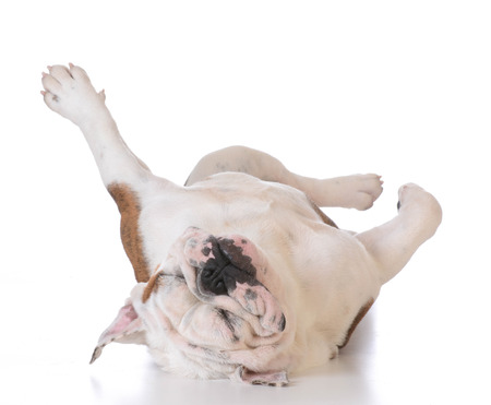 itchy: itchy dog - bulldog laying upside down looking at viewer on white background Stock Photo