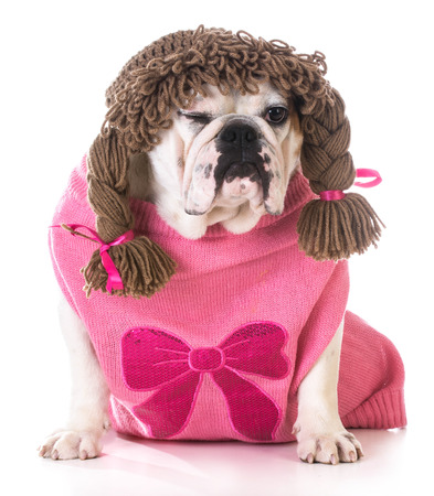 wiggler: female dog winking - bulldog wearing wig and pink sweater