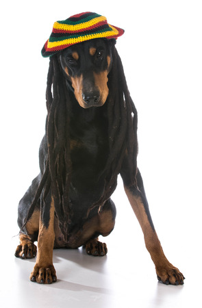 jamaican ethnicity: dog in costume - doberman dressed with dreadlocks on white background