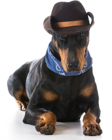 pinscher: country dog - doberman pinscher dressed up with cowboy hat and bandanna on white background