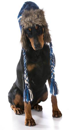 winter fashion: winter dog wearing hat - doberman pinscher