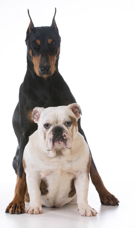 doberman: two dogs - bulldog and doberman together on white background Stock Photo
