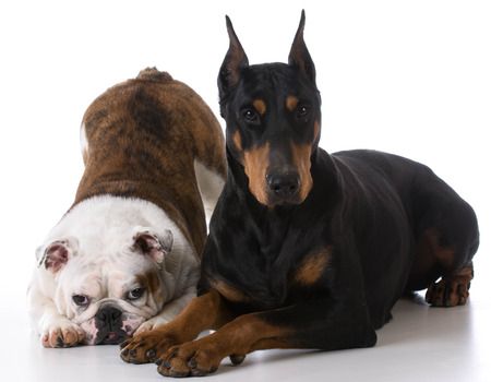 doberman pinscher: two dogs - bulldog and doberman together on white background Stock Photo