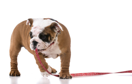 leashes: leash training a puppy - english bulldog three months old