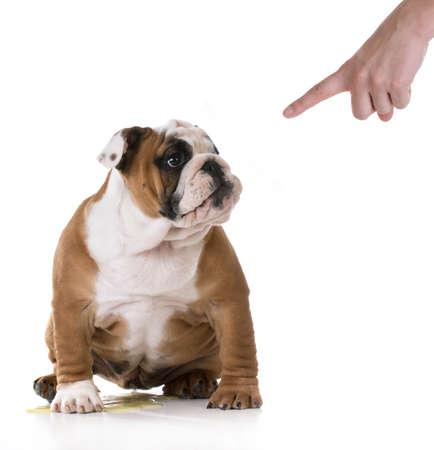 vasino: pipì cucciolo - housetraining un cucciolo bulldog - 3 mesi di età Archivio Fotografico