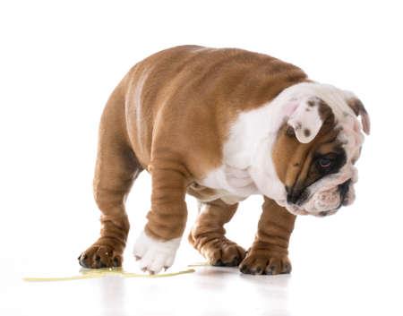 pis: cachorro de orinar - cachorro de bulldog orinando aislado en fondo blanco Foto de archivo
