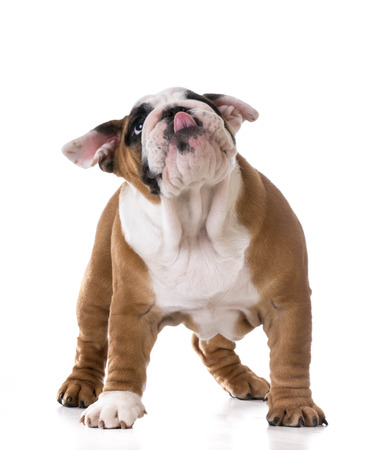 cute puppy looking up on white background - bulldog three months old photo