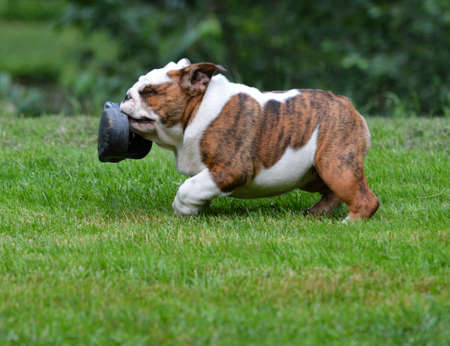 brindle: dog stealing shoe - four month old bulldog puppy