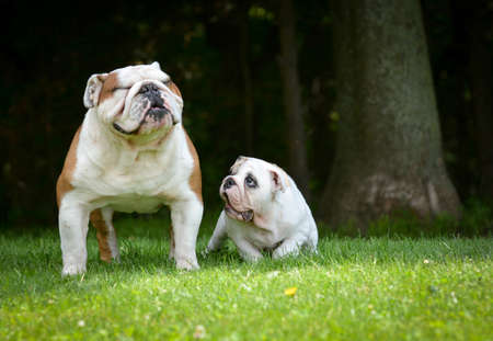 3 6 months: puppy and adult dog playing outside - bulldog puppy 3 months and adult 6 years Stock Photo