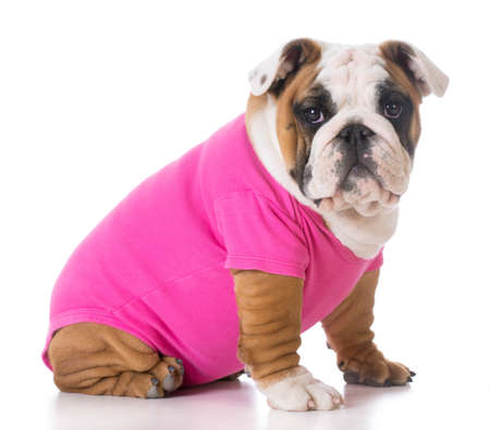 white shirt: female puppy wearing pink sweater - bulldog Stock Photo