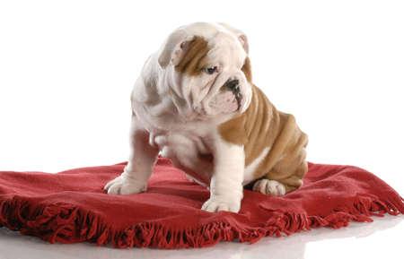 stitting: nine week old english bulldog puppy sitting on a red blanket