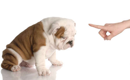 bad woman: bad dog - persons hand wagging finger at nine week old english bulldog puppy Stock Photo