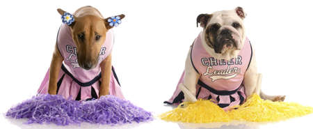 cheerleading squad: cheerleading squad - bull terrier and english bulldog dressed up as cheerleaders