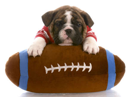 football jersey: english bulldog puppy wearing red jersey laying on stuffed football