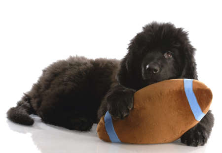 weeks: newfoundland puppy playing with stuffed football - twelve weeks old