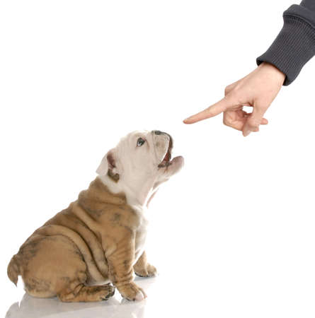 bad woman: english bulldog puppy barking at finger reprimanding