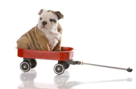 old english: nine week old english bulldog puppy riding in a red wagon