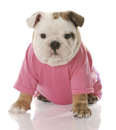 english girl: female english bulldog puppy dressed in pink shirt on white background