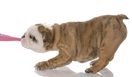 old english: puppy tugging - nine week old english bulldog puppy tugging on pink fabric Stock Photo