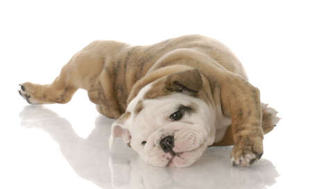 scratches: english bulldog puppy laying on her back - nine weeks old