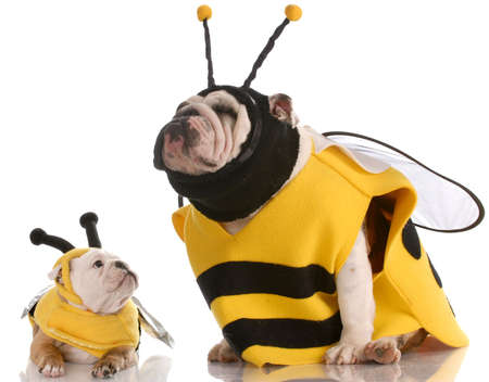 dressed up: mother and daughter bulldogs dressed up like bees