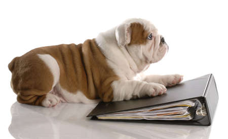 dog school: dog school - nine week old english bulldog puppy laying on binder filled with paper Stock Photo