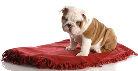 intrigued: nine week old english bulldog puppy sitting on a red blanket