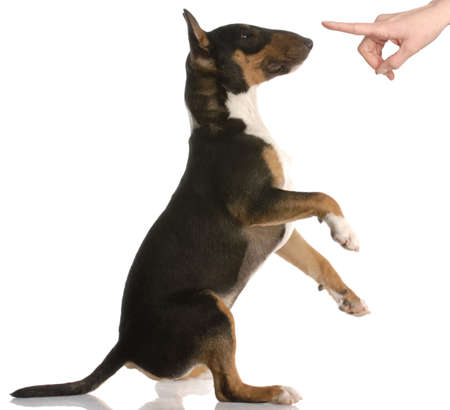berisping: Stoute hond - bull terrier - negen maanden oud - op witte achtergrond