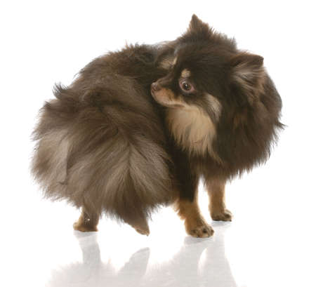 on lap: pomeranian puppy chasing her tail or smelling her backside