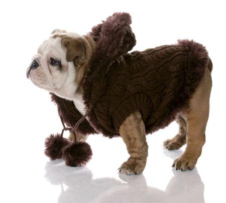 old english: dog wearing brown sweater - english bulldog female - nine weeks old