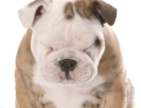 intrigued: english bulldog puppy squinting isolated on white background