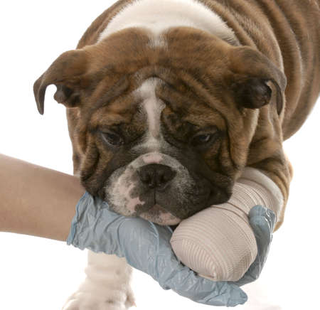 gloved hand holding on to wounded paw of english bulldog puppy on white background Stock Photo