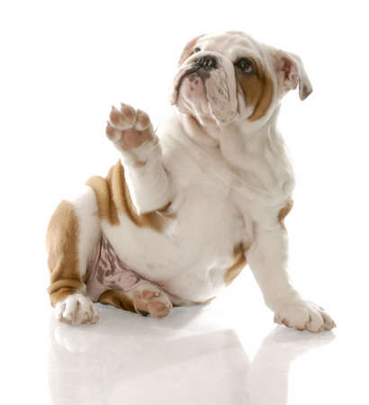 to beg: english bulldog puppy sitting holding paw up to viewer Stock Photo