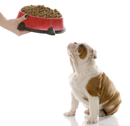 english bulldog puppy waiting to be fed