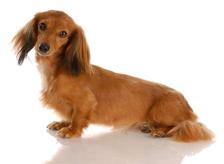 miniature breed: dachshund de pelo largo de miniatura sentado con una reflexi�n sobre fondo blanco Foto de archivo