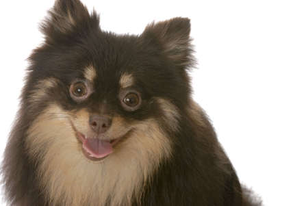 panting: pomeranian puppy with tongue out panting on white background