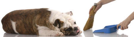 poo: hands holding broom and dust pan sweeping around a lazy english bulldog Stock Photo