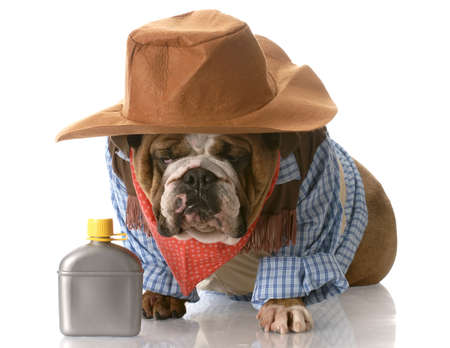 male costume: english bulldog wearing cowboy costume sitting beside whiskey flask